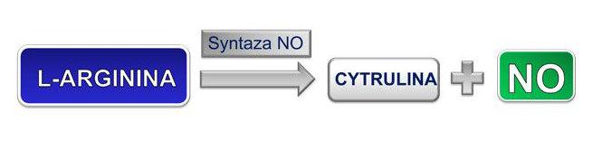 W organizmie ludzkim L-arginina pod wpływem enzymu – syntazy tlenku azotu (NO) ulegaprzemianie do cytruliny, czemu towarzyszy wydzielenie cząsteczki tlenku azotu.